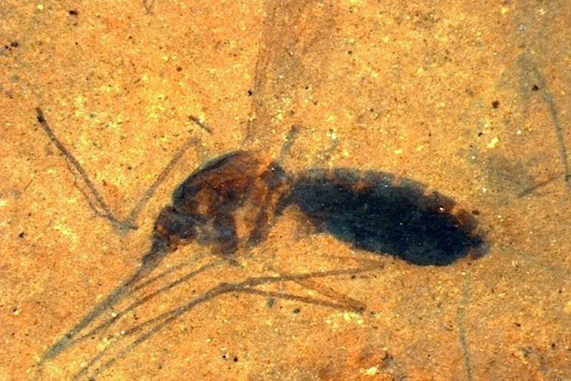 Fóssil de mosquito com sangue conservado