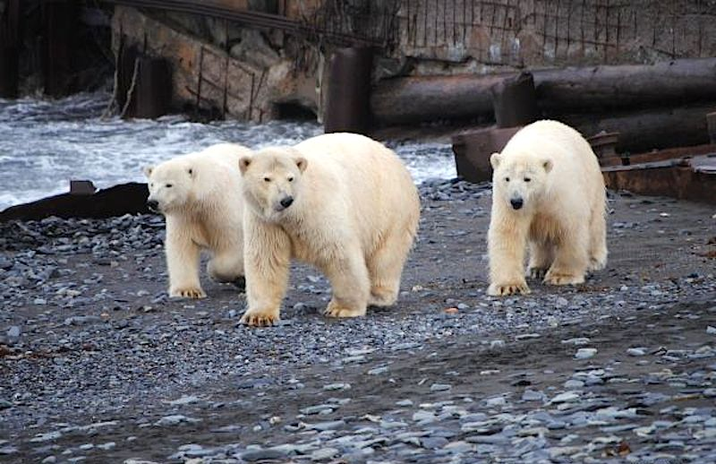 Ursos polares não costumam atacar humanos, mas casos assim vêm se tornando mais frequentes