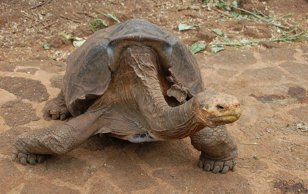 Diego, tartaruga gigante macho de Galápagos com mais de 100 anos