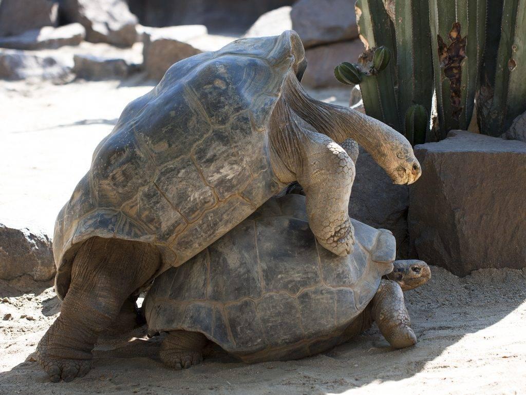 Tartarugas dos Galápagos acasalando