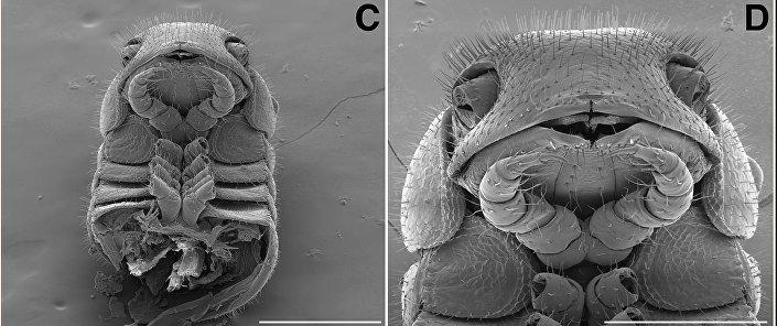 A parte dianteira do corpo de um Illacme tobini (esquerda) e um Illacme plenipes (direita) vista com uma aproximação de 300 µm (esquerda) e 200 (direita) µm
