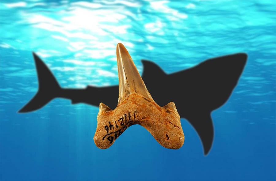 Fósseis de dentes permitiram descobrir uma nova espécie de tubarão pré-histórico, o Megalolamna paradoxodon