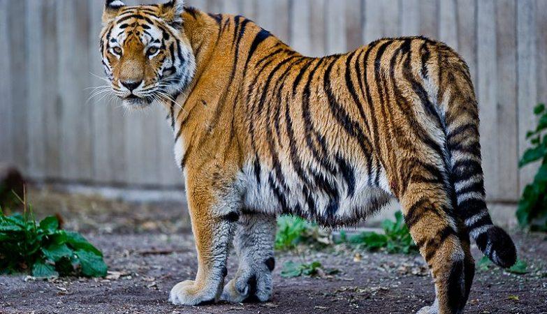 O DNA do Tigre Siberiano é praticamente igual ao DNA do Tigre-do-Cáspio