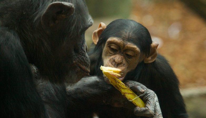 """Esta população de chimpanzés em particular tem o que Lapuente  chama de """"uma cultura de bebida"""""""