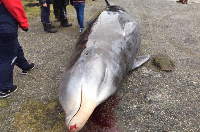 Aparentando exaustão e problemas de saúde, a baleia acabou sendo sacrificada por especialistas em vida marinha da região