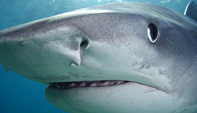 Tubarão-Tigre (Galeocerdo cuvier)