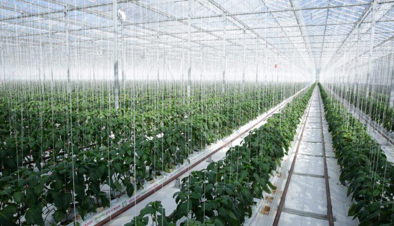 Energia geotérmica é convertida em eletricidade e usada para aquecer a estufa Gourmet Mokai na Nova Zelândia que produz tomates e pimentas