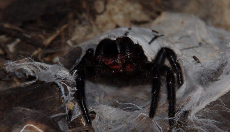 A aranha teia de funil da espécie Hadronyche infensa