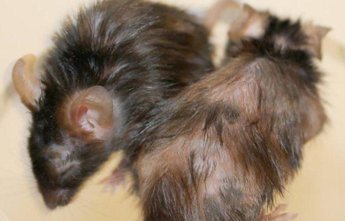 Benefícios do peptídeo sobre a queda de pelo. O animal à esquerda recebeu o peptídeo, o da direita não.