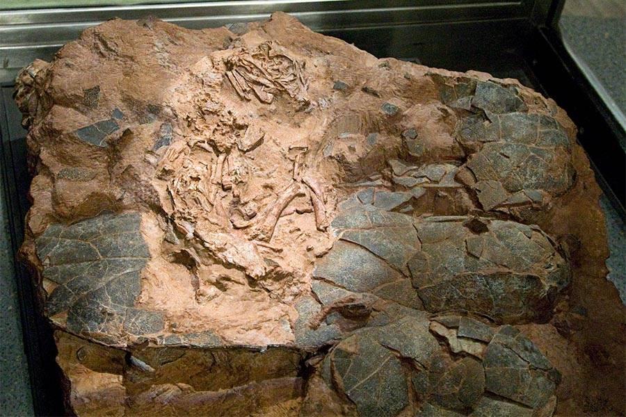 """Nova espécie de dinossauro oviraptossauro, batizada como Beibeilong sinensis ou """"bebê dragão chinês"""""""