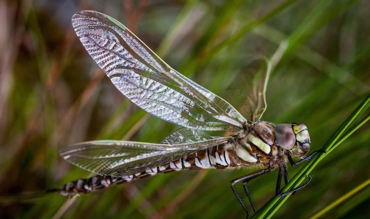 Uma libélula da espécie Aeshna juncea