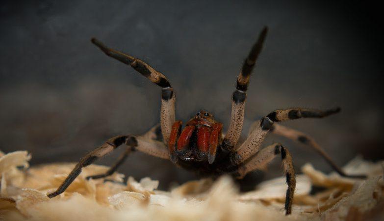 Aranha armadeira, também conhecida por aranha bananeira