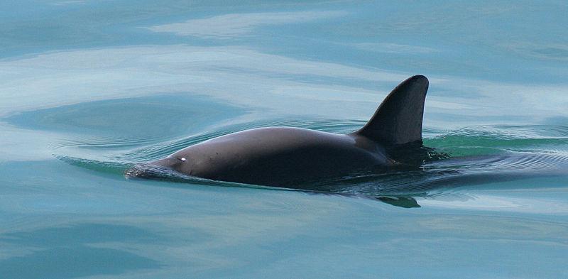 Phocoena sinus, a vaquita marinha, é o cetáceo mais pequeno do mundo