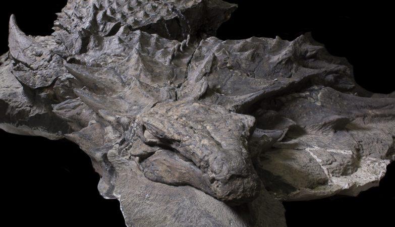 O nodossauro media cerca de 5 metros, tinha 1,7 metro de altura e pesava cerca de 1,5 tonelada.