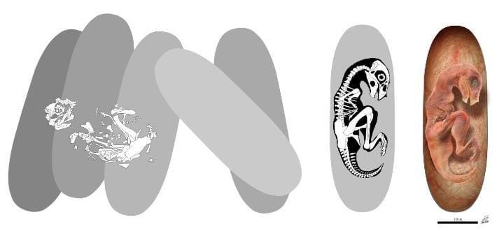 """Ilustração do dinossauro """"bebê dragão chinês"""" - ou Beibeilong sinensis - dentro do ovo"""