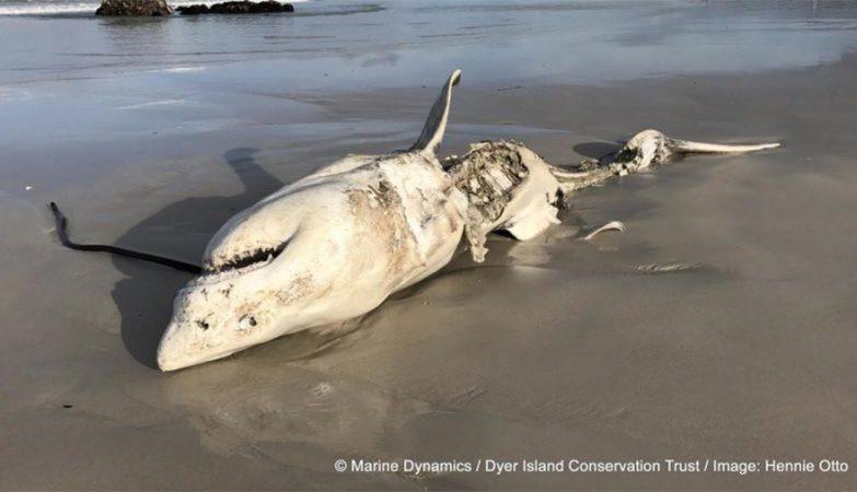 Grande tubarão-branco esquartejado por baleias assassinas na África do Sul