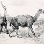 """Macrauchenia patachonica"", por Robert Bruce Horsfall  (1869–1948)"