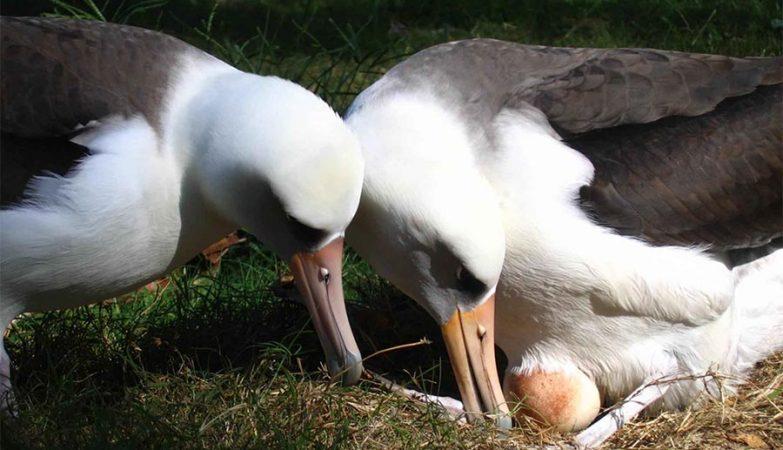 O albatroz põe ovos elípticos porque é um excelente voador