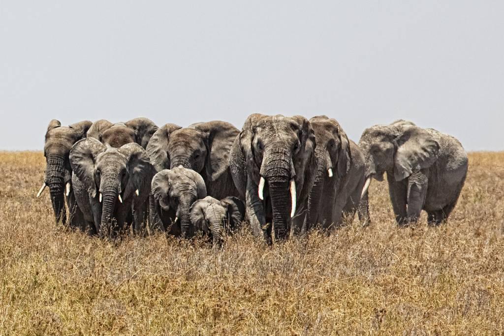 Resultado de imagem para Elefantes são estranhamente resistentes ao câncer; e isso pode servir aos seres humanos