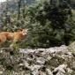 Raça de cães mais antiga e rara do mundo foi redescoberta na natureza