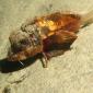 Cientistas estão intrigados com nova espécie de peixe com pernas