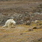 Urso polar é filmado morrendo de fome no Ártico