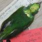 Primeira espécie de ave híbrida do mundo é descoberta na Amazônia