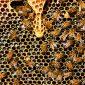 As abelhas conseguem contar com apenas quatro neurônios